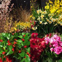 【asuka00275412】さんのInstagramをピンしています。 《* 花いけバトルで使用される花たち。 1月2日にこれだけお花が揃うのって、すごい。 * #桜 #千両 #水仙 #シンビジューム #バラ #flower #花 #品川プリンスホテル  #クラブex  #花いけバトル  #春の花  #色とりどり》