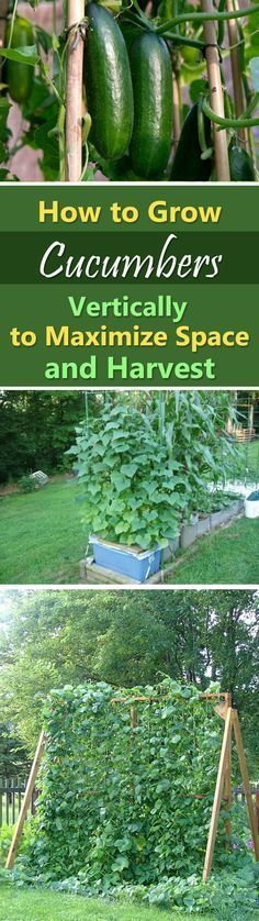 Gardening Tomatoes With Containers how to grow cucumber - Learn how to grow cucumbers vertically to get the most productive plant. Growing cucumbers vertically also save lot of space, which is suitable for small gardens. Vertical Vegetable Gardens, Veg Garden, Edible Garden, Lawn And Garden, Terrace Garden, Vegetable Gardening, Veggie Gardens, Garden Fences, Garden Web