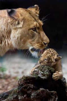 Lioness tenderly watching over her cub.