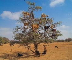 Goats climbing up an Argan tree to its fruit, near Essaouira in Morocco
