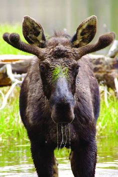 Moose, Sprague Lake, Rocky Mountain National Park, Colorado. Photo by Kristina Kugler.