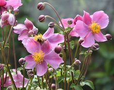 Anemone hupehensis 'Praecox' | SlovenskeTrvalky.sk Clematis, Plants, Garten, Plant, Planting, Planets