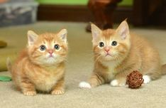 """A ginger cat mama and her two ginger babies are now in good hands of the volunteers at Wonder Cat Rescueand are looking for their forever loving homes!  """"Bali (the mother cat) was taken to an animal shelter as a stray. She had a litter of 6 but sadly 4 didn't make itbefore we could get out to pick..."""