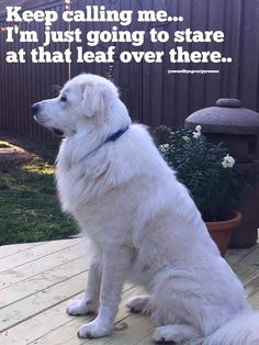 Exactly my dog lol. Maremma Dog, Maremma Sheepdog, Cute Dogs And Puppies, Pet Dogs, Pets, Great Pyrenees Dog, Dane Dog, Raining Cats And Dogs, Animal Jokes