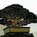 "573 lượt thích, 2 bình luận - @bonsaimente trên Instagram: ""PBSI-PBA Bonsai Show at SM Clark. Owner & Photo: Susan Lee. #Bonsai #BonsaiTree #盆栽 #BonsaiWorld…"""
