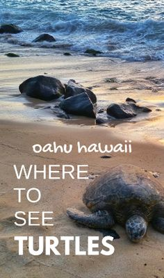 Where to see turtles in Oahu: Laniakea Beach aka Turtle Beach on the North Shore of Oahu, Hawaii