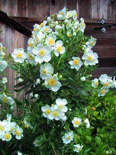 bush anenome