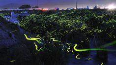 Fireflies on long exposure