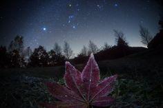 Frosted Leaf Orion - Masahiro Miyasaka