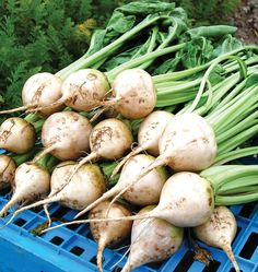 Grow pure white beets by planting Avalanche beet seeds in your organic vegetable…