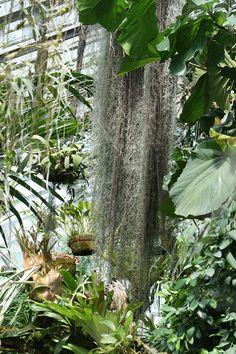Tillandsia usneoides http://www.elhogarnatural.com/bromeliaceas.htm