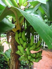 Dwarf Cavendish Banana is a variety that produces wonderful tasting fruit!   A vigorous grower to only about 5 feet tall with large green leaves.   Its more compact habit allows use in large containers on patio, by pools or ponds, or anywhere a great tropical effect is desired.  It is often seen container grown in back yards and botanical gardens alike. Produces large bunches of full sized sweet smooth fruit. Great as interior plant. Would make a great gift. Shipped as a potted five gallon…