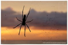 Nephila Spider in Zanzibar  All Images © Daniel Russell Photography www.facebook.com/danielrussellphotography Spider, Facebook, Photography, Image, Spiders, Photograph, Fotografie, Photoshoot, Fotografia