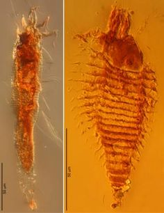 These 230-million-year-old bugs preserved in amber are the oldest yet