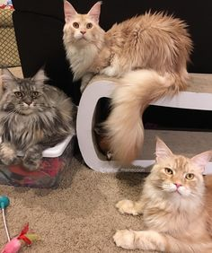 It's hard to get all 3 in one pic #Daveinspeare #DaVinciTheMaineCoon #EinsteinTheMaineCoon #ShakespeareTheMaineCoon #mainecoon #mainecoon_id  #animalsco #instacat_meows #cats_of_world #cat_features #catsofinstagram #bestcats_oftheworld #cutepetclub #petsofinstagram #CatsofDallas #igTxCats #BestMeow #meowvswoof #mainecoon_feature #igAnimal_snaps #topcatphoto #excellent_cats #catsofgram #buzzfeedanimals #todaypets #9gagpets #teamfancykitty #catsofcatster #my_loving_pet #pin