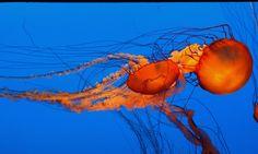 Monterey Bay Aquarium - | by Pix.by.PegiSue>Jelly Fish