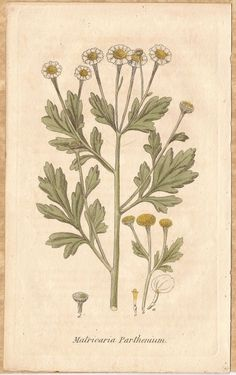 Feverfew As An Herbal Medicine 1825 H/C Engraving