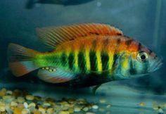 Flameback Cichlid (Pundamilia nyererei) 5cm  http://marinefishdirect.com.au/freshwater-fish/african-cichlid-lake-victorian/flameback-cichlid-pundamilia-nyererei-7cm.html