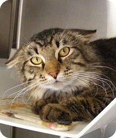 Eureka Springs, AR - Domestic Mediumhair. Meet Picayune, a cat for adoption. http://www.adoptapet.com/pet/12757836-eureka-springs-arkansas-cat