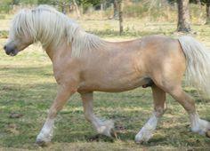 Welsh Mountain Pony (section A) stallion Springbourne El Dorado