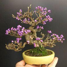#bonsai #bonsaiauer #shohinbonsai #callicarpa