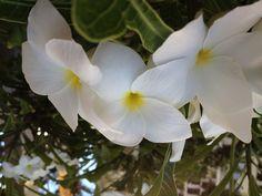 Hawaiian Flower.