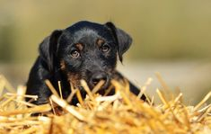 Terrier, Hunting Dogs, Working Dogs, Puppy Love, Dog Breeds, Cute Pictures, Labrador Retriever, Puppies, Dog