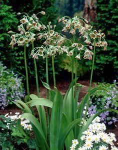 Honungslök (Allium Nectaroscordum Siculum) Andrea namn: Mediterranean bells, honey bells.  Blommar i juni-juli med många små klockformade blommor i vitt/purpur/grönt. Trivs i sol - halvskugga. Upp mot 1m hög.