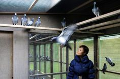 Knesselare, Belgium. Jan. 12, 2011 - China's Yi Minna, the Chief Operating Officer at the PiPa pigeon auction house which organized the Roosen sale, watches pigeons at Pigeon Paradise. (AP Photo/Geert Vanden Wijngaert)