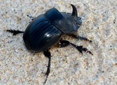 Beetle Animal | The rhino beetle is a formidable force in the insect world
