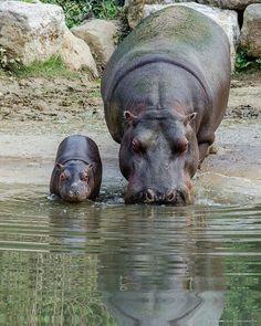 Momma and baby hippo By A Natureza E Os Animais.