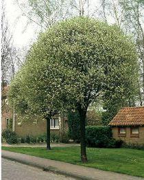 Prunus eminens Umbraculifera
