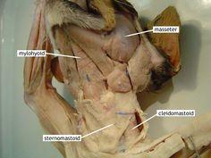 Cleidomastoid and Sternomastoid