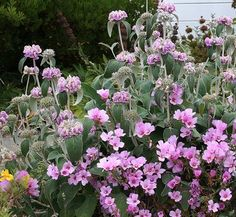 Phlomis cashmeriana & Clarkia whitneyi - From Annie's Annuals Orchids Garden, Pink Garden, Shade Garden, Pink Perennials, Herbaceous Perennials, Sage Plant, California Native Plants, Drought Tolerant Landscape, Succulent Landscaping