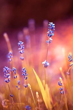 The romantic shine of lavender by Xenia Chowaniec on 500px