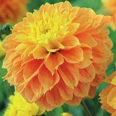 Dahlia Deep Impact produces stunning apricot blooms with a glowing yellow centre. This fimbriata dahlia will grow to a height of 100cm and will flower all summer long.