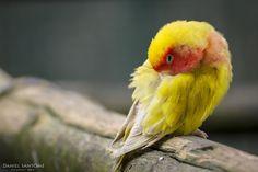 """""""Dreams"""", pequeño loro durmiendo posado sobre una rama en el Zoo de Santillana."""