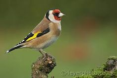 female goldfinch - Google Search
