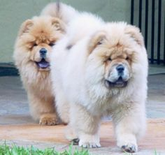 My puppy needs a sibling and it should be a chow chow.