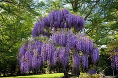 Purple Wisteria is a climbing plant or small tree smothered with large, beautiful clusters of purple-blue flowers every spring.