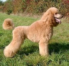scandinavian cut poodle