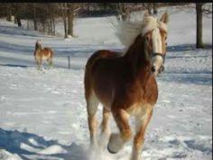 Belgium horse