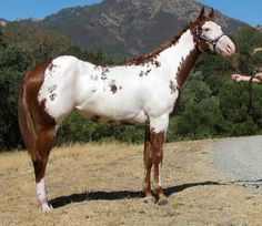 Paint Me Really Fancy (Claire) Horse Classifieds, Horse Markings, American Paint Horse, All About Horses, Painted Pony, Appaloosa Horses, Horse Pictures, Horse Love, Show Horses