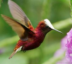 The Snowcap Hummingbird of Central America weighs less than a penny.