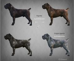 119 Best Cane Corso Mastiff The Roman Gladiator Images Cane