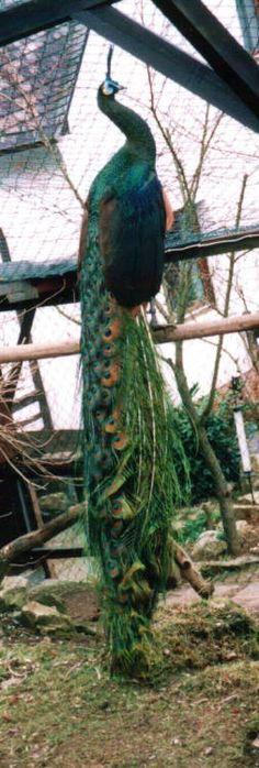Burmese Green cock with train  --  Burmese Green (Pavo muticus spicifer)    The Burmese Green is the least brilliant of the 3 green subspecies, and looks the closest to the India Blue. There are few breeders who carry pure Burmese greens. Peacock Coloration: Burmese males are much duller and bluer in coloration than the other two subspecies. The facial skin is not as bright. The throat is dark blue, and the back is bluish. The wing coverts are black.