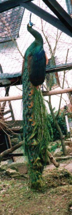 Burmese Green are endangered