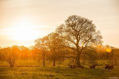 A beautiful sundown in the north of Germany. I love cows :)   More of these pictures here: http://www.phothomas.de/landschaftsfotos-in-oldenburg-bornhorst-2016/  Follow me on Instagram: https://www.instagram.com/phothomas.de/  #sundown #lowersaxony #sonnenuntergang #niedersachsen #goodmood #cow #kuh #natur #tree #wiese #weide #ifeelfree #beauty #skylovers #photography #canon #mothernature #phothomas #photographer #oldenburg #rastede #bremen #fotograf #thomasweber #germany