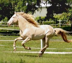 Perlino Lusitano stallion, Valente Interagro. photo: Katherine Cook.