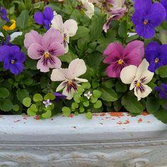 むくむくと花芽が上がってきます。たくさん咲いてね。 #パンジー #ビオラ #イオノプシディウム #ガーデニング #私の庭 #gardening #mygarden #my_daily_flower #flowers #flowergarden #flowerstagram